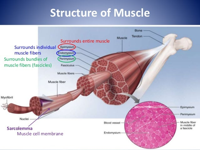 Lecture 4 Muscle Physiology1