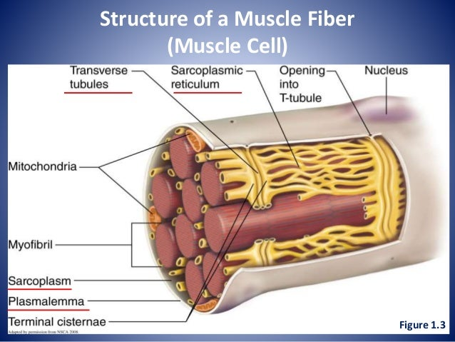 Lecture 4 Muscle Physiology 1