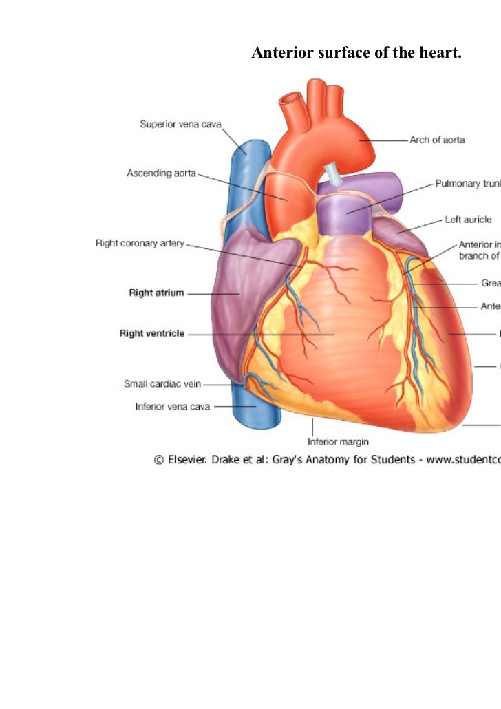 Diagram Of Heart Surfaces - Search For Wiring Diagrams •