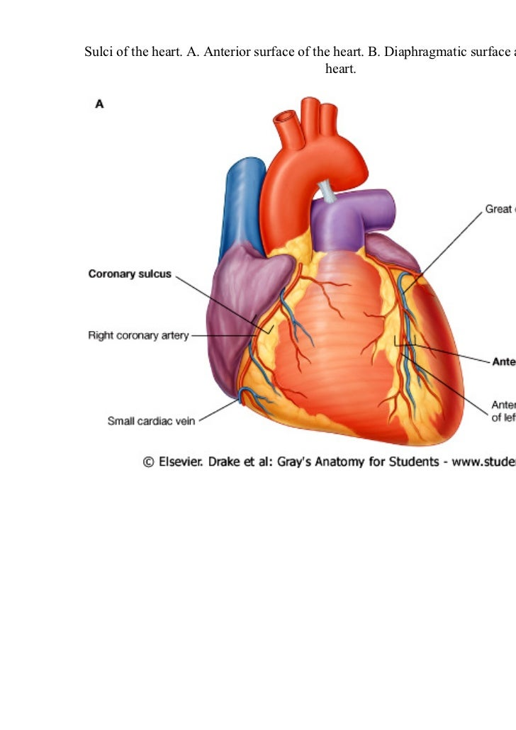 External Surface Of The Heart Diagram - Online Schematic Diagram •