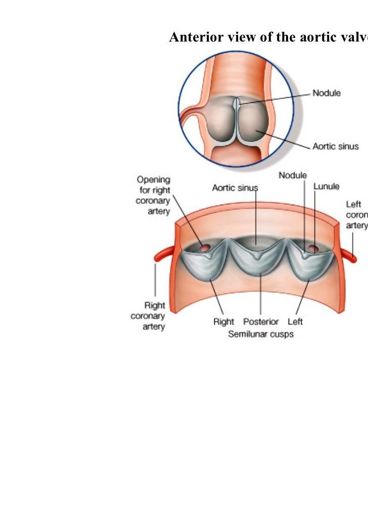 Anatomy of aortic valve