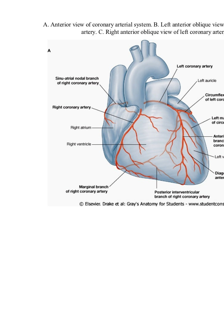 Arteries Heart Anatomy Images - human body anatomy