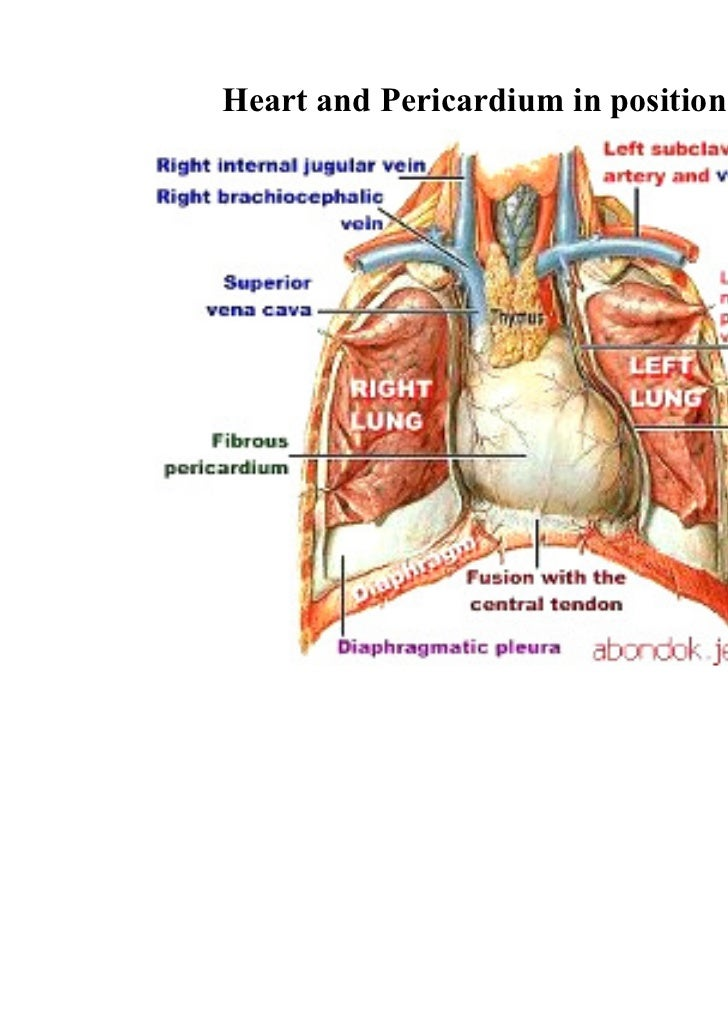 Contemporary Borders Of The Heart Anatomy Images - Human Anatomy ...