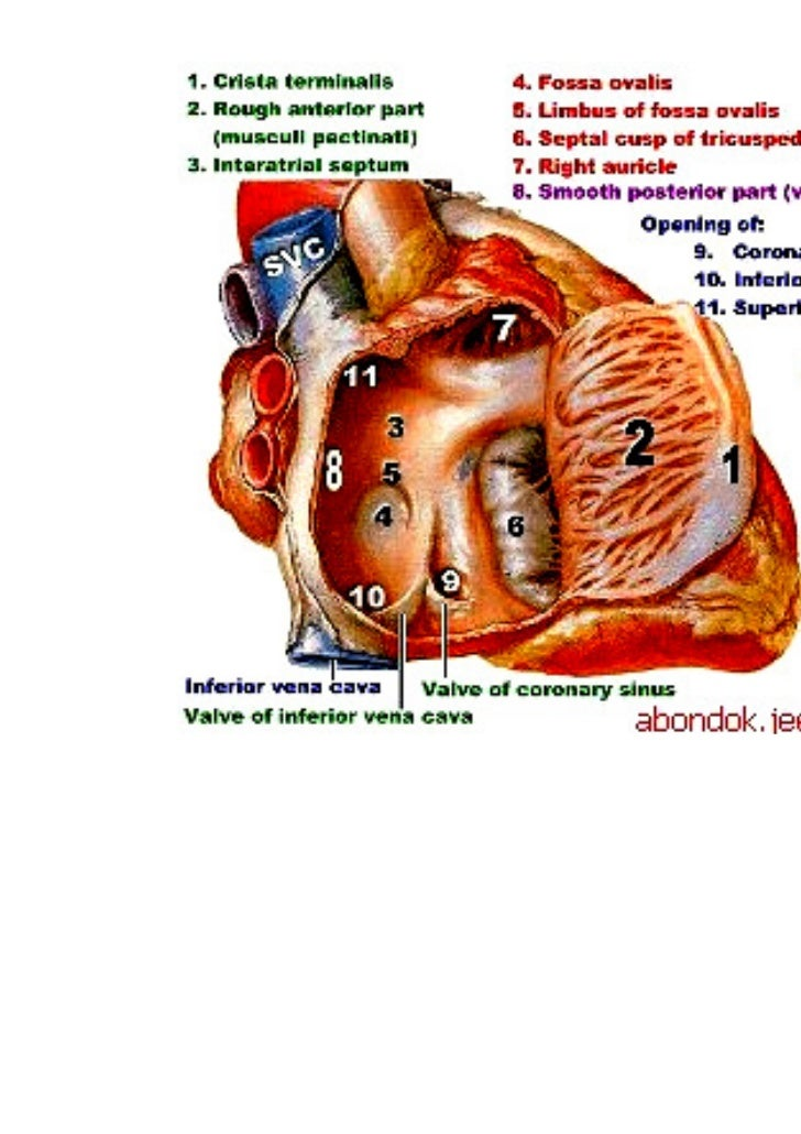 Lecture 4 Heart Anatomy