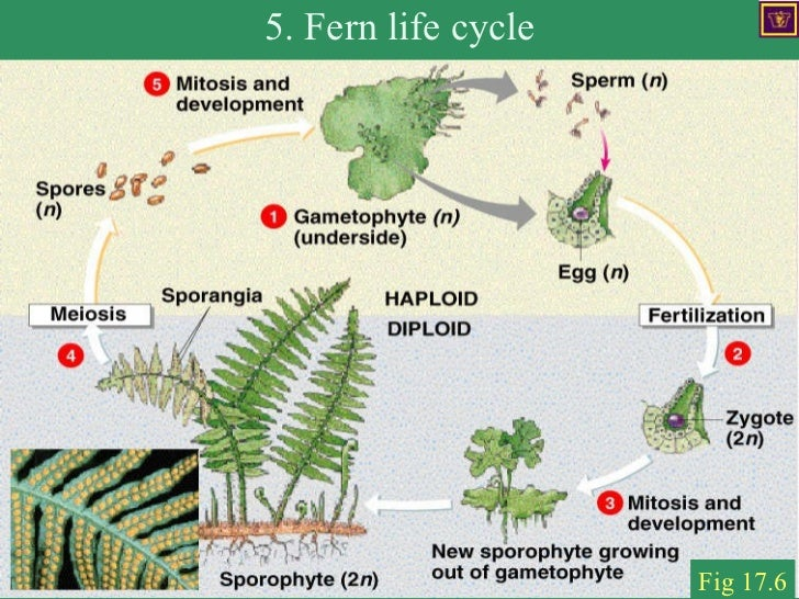 ferm life cycle A variety of enlarged parasitic fungus and other plant life are present these fungus must harm other plants to survive, bursting open to release their spores this seemingly violent action is a necessary part of their life-cycle the arrangement recalls dioramas from natural history museums, with large groupings of forms.