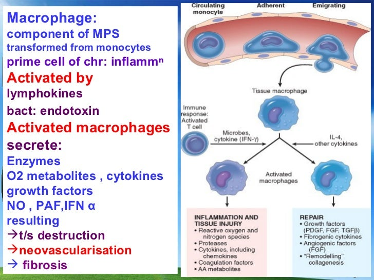 Lecture 50 chronic inflammation ppt 4 11 11