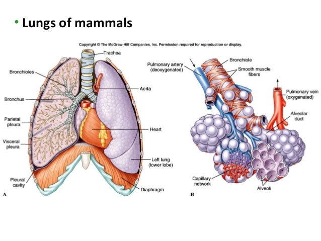Lecture 5 gas exchange lungs of mammals 14 ccuart Gallery