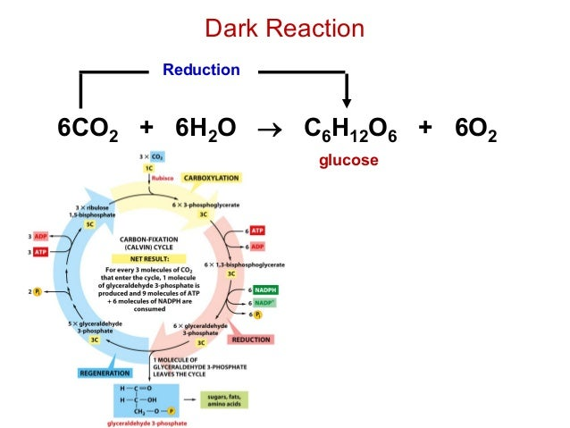 Dark reaction diagram simple calvin cycle diagram wiring diagram photosynthesis photosynthesis light and dark reaction diagram location chloroplast in plant cell ccuart Choice Image