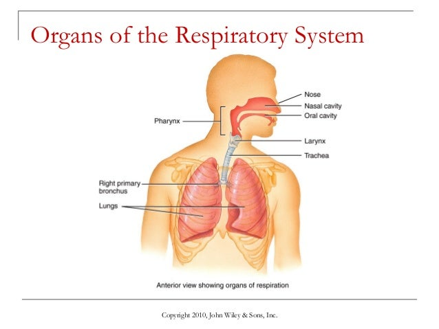lecture 5 the respiratory system, Cephalic Vein