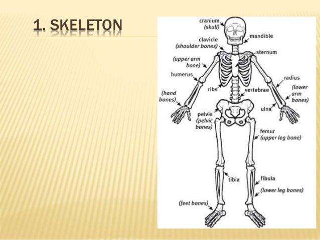 Skeletal System Diagram Worksheet Bio 168 Block And Schematic