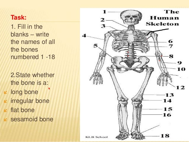 lecture 6: skeleton, bones, joints, muscle, heart, Skeleton