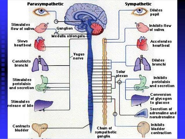 Physiology of autonomic nervous system metasympathetic system 6 ccuart Choice Image