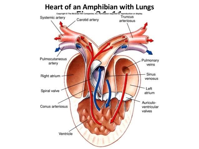 Three Chambered Heart Diagram Online Schematic Diagram