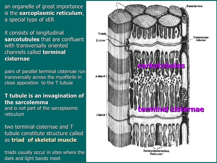 What is the function of the terminal cisternae?
