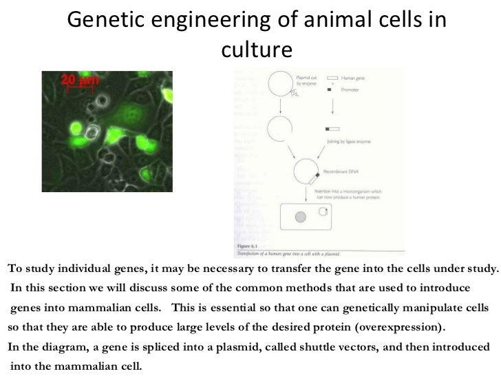 Genetic engineering of animal cells in culture To study individual genes, it may be necessary to transfer the gene into th...