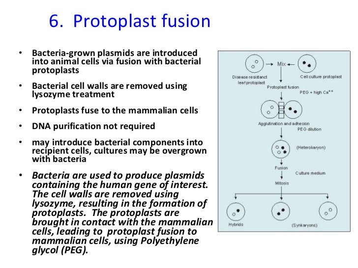 6.  Protoplast fusion <ul><li>Bacteria-grown plasmids are introduced into animal cells via fusion with bacterial protoplas...