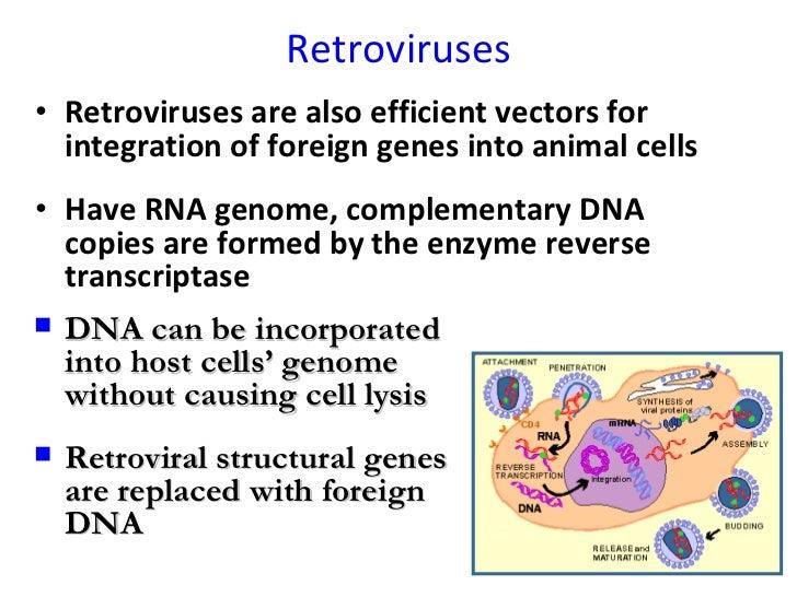 Retroviruses <ul><li>Retroviruses are also efficient vectors for integration of foreign genes into animal cells </li></ul>...