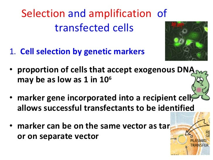 Selection  and  amplification  of transfected cells <ul><li>1.  Cell selection by genetic markers </li></ul><ul><li>propor...