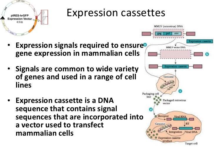 Expression cassettes <ul><li>Expression signals required to ensure gene expression in mammalian cells </li></ul><ul><li>Si...