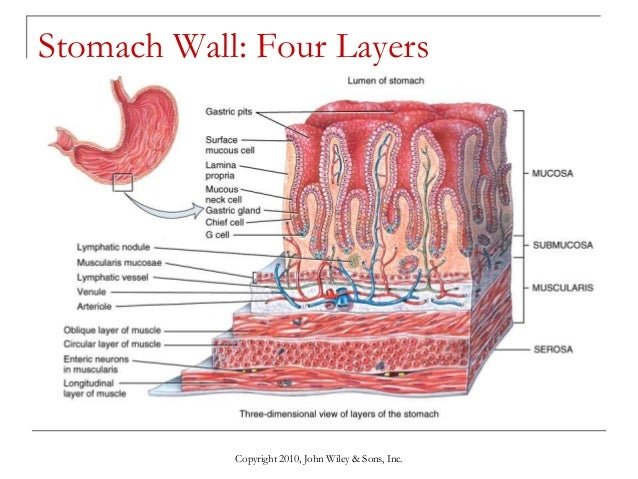 Lecture 9 The Digestive System