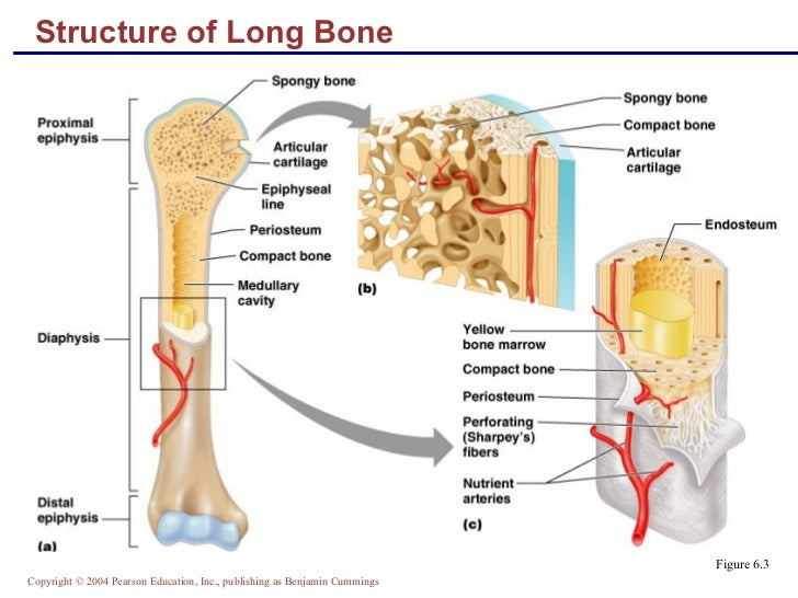 anatomy connected with typically the bone