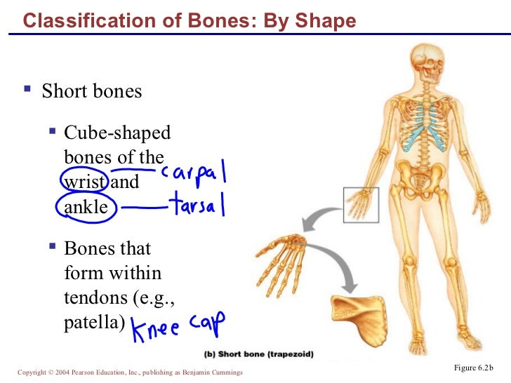 Lecture Bone Structure Markings