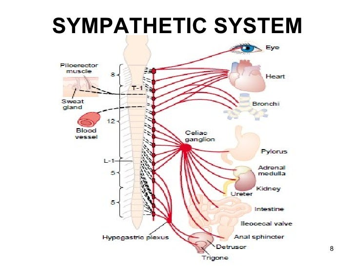 Nervous System Worksheet in addition 1925708 in addition 2052 8426 2 31 in addition Pharmacology Of Antiemetics as well Antihistaminic. on cns diagram