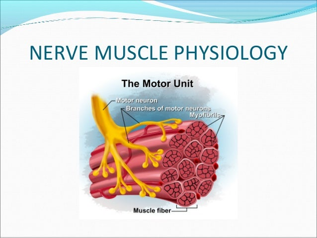 muscle nerve Sc56 - nerve and muscle biopsies: a patient-centered approach for the general  pathologist wednesday, march 21, 2018 - 1:30 pm - 5:30 pm this short.