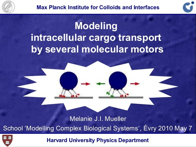 Modeling intracellular cargo transport by several molecular motors Melanie J.I. Mueller School 'Modelling Complex Biologic...