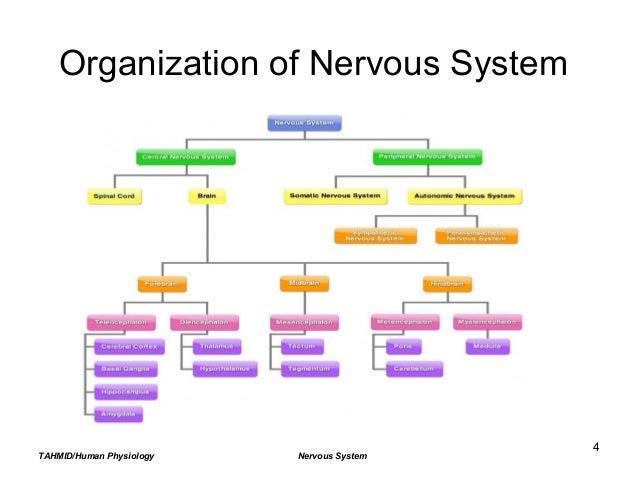 Nervous system organization ccuart Gallery