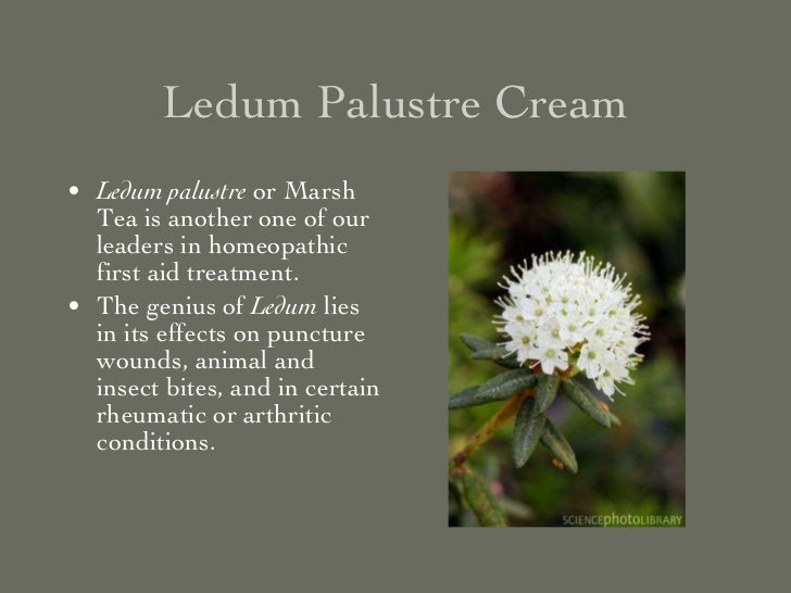 Ledum Palustre Cream <ul><li>Ledum palustre  or Marsh Tea is another one of our leaders in homeopathic first aid treatment...