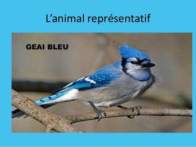 L'animal représentatif GEAI BLEU