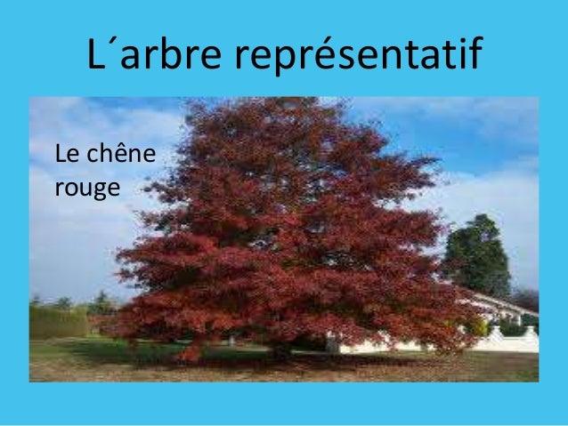 L´arbre représentatif Le chêne rouge