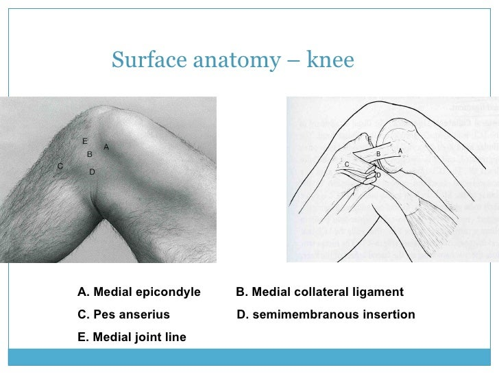 Surface Anatomy Knee Joint Line on Ib Book Circles