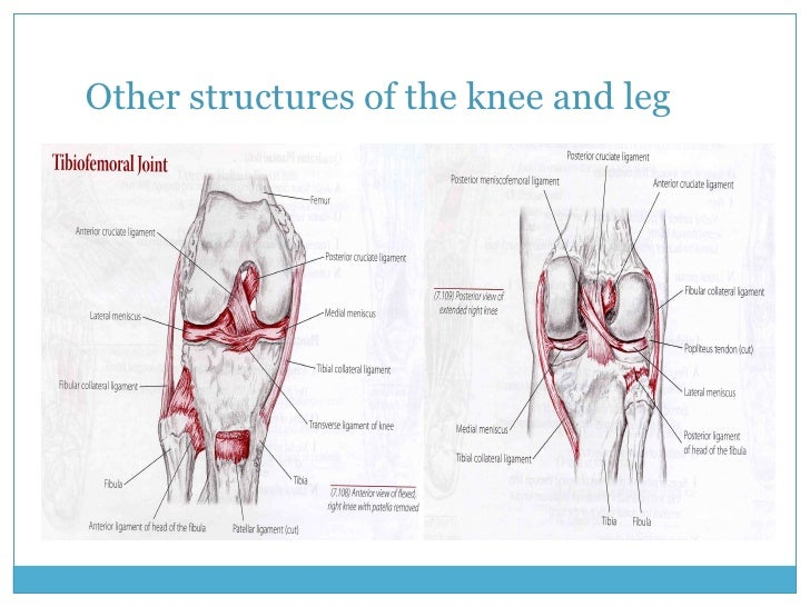 Other structures of the knee and leg