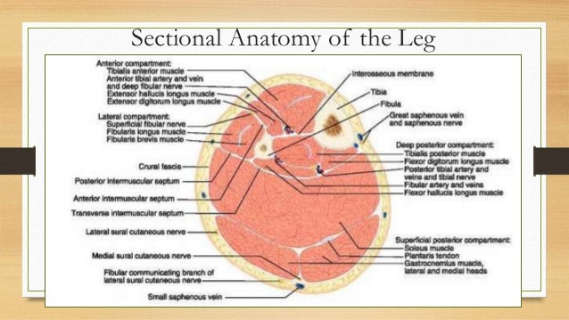 Leg: from anatomy to orthopedisc