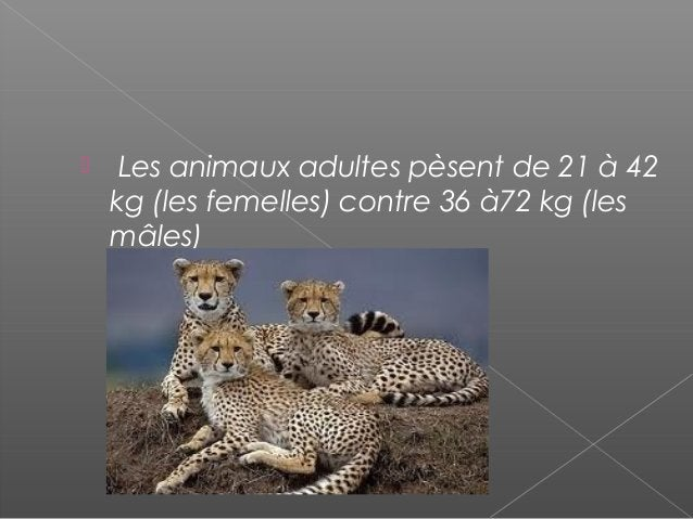    Les égyptiens domestiquent les    guépards pour en faire des auxiliaires de    chasse.