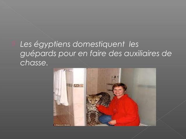    Le guépard peut atteindre une vitesse    de 110km/h