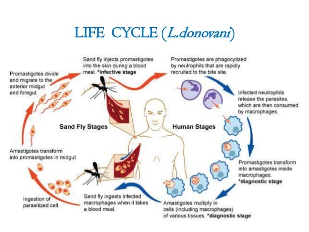 Leishmania braziliensis - Wikipedia