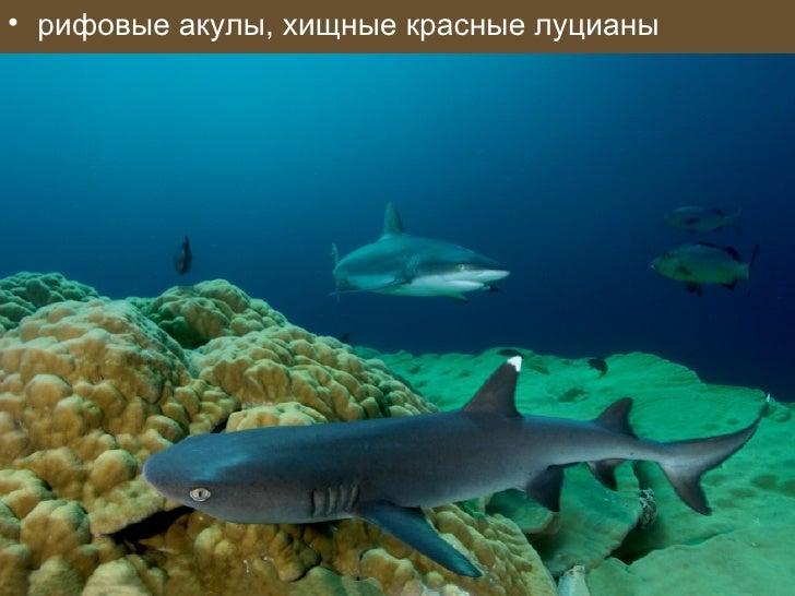 • рифовые акулы, хищные красные луцианы