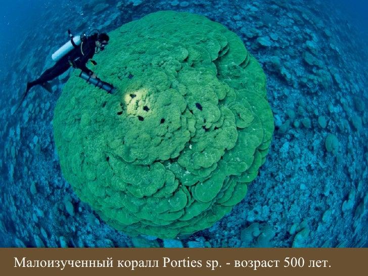 Малоизученный коралл Porties sp. - возраст 500 лет.