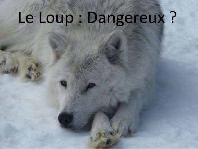 Le Loup : Dangereux ?