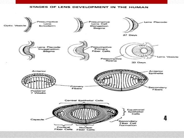 Anatomy of the lens