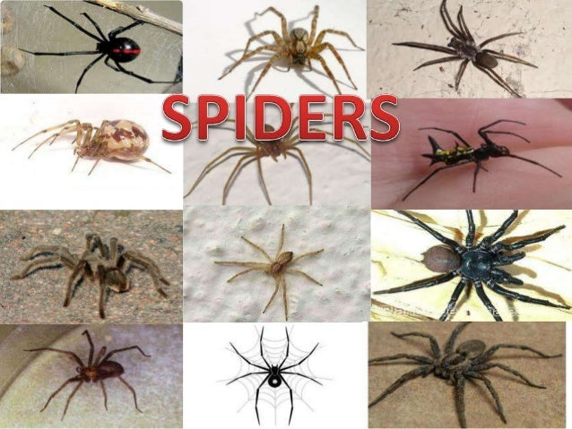 How many species of spiders are there in the world? • ORDER ARANEAE: SPIDERS • THE SPIDERS ARE A LARGE GROUP OF 35.000 REC...