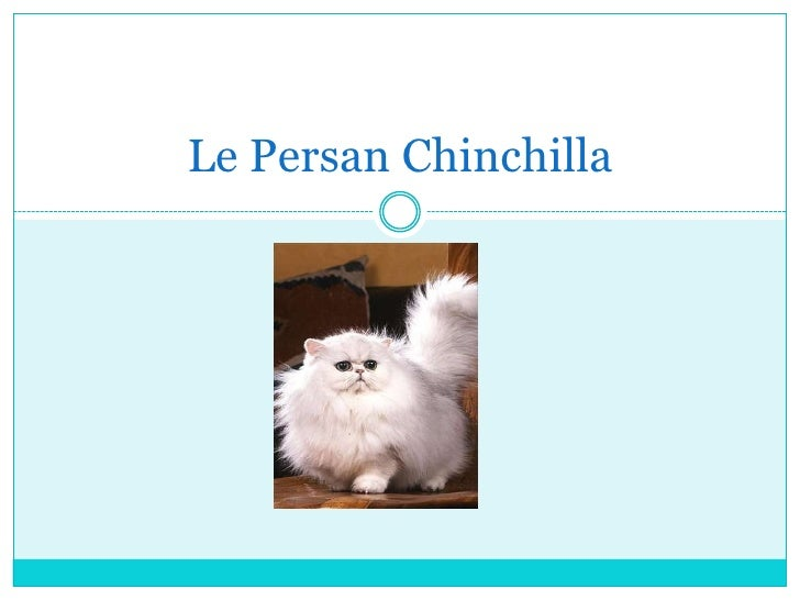 Le Persan Chinchilla<br />