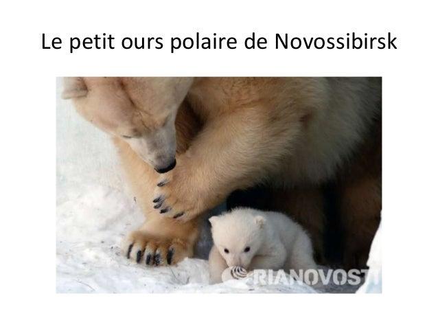 Le petit ours polaire de Novossibirsk