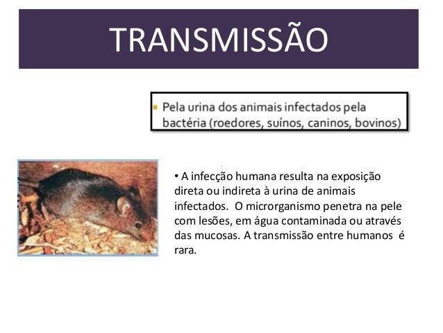 TRANSMISSÃO  • A infecção humana resulta na exposição  direta ou indireta à urina de animais  infectados. O microrganismo ...