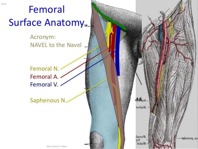 lower extremity regional anesthesia, Muscles