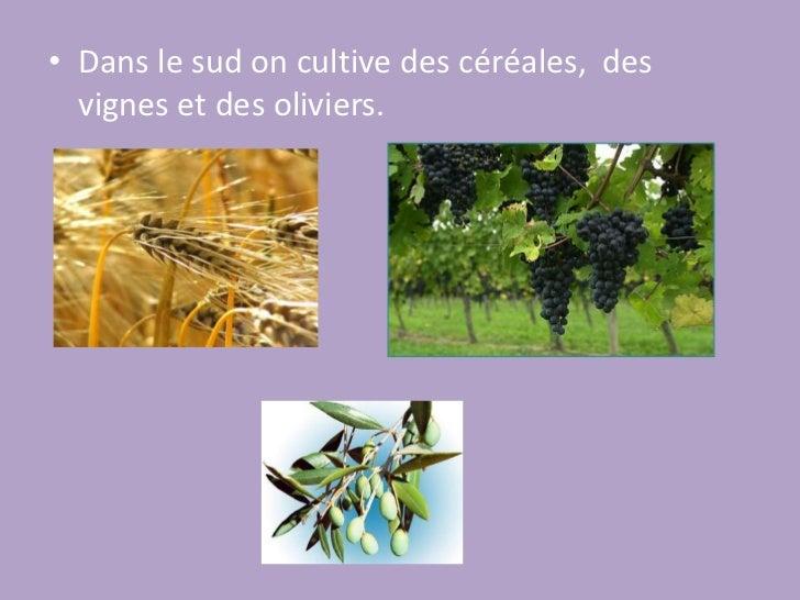Dans le sud on cultive des céréales,  des vignes et des oliviers.<br />