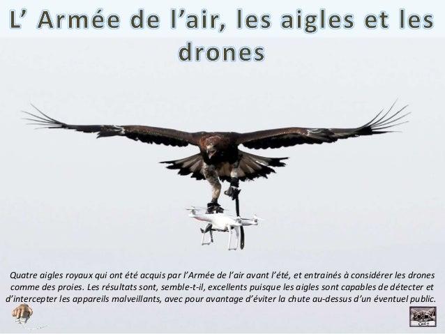 Quatre aigles royaux qui ont été acquis par l'Armée de l'air avant l'été, et entrainés à considérer les drones comme des p...